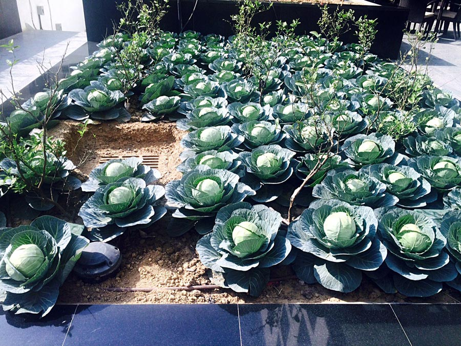 cabbages-in-our-farm
